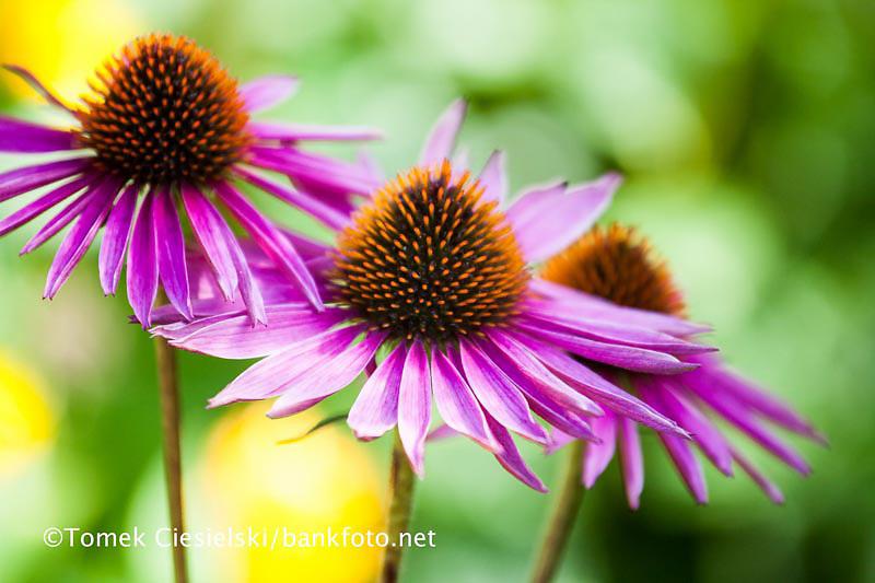 Echinacea purpurea `Pica Bella`