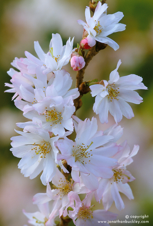 Prunus x subhirtella 'Autumnalis' - Winter flowering cherry - flowering at Glen Chantry<br /> Higan cherry, Rosebud cherry