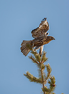 Juvenile red-tailed hawk launches into flight from top of lodgepole pine, Yellowstone National Park, WY, © 2005 David A. Ponton