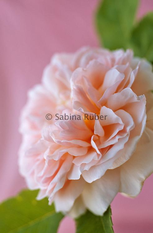 Rosa 'Eglantyne' - English Rose - bred by David Austin - shrub rose