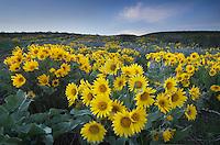 Methow Valley wildflowers, Balsamroot (Balsamorhiza deltoidea), North Cascades Washington