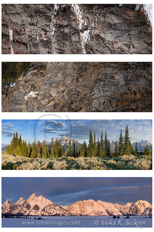 Panoramic Vista images in Grand Teton National Park, featuring the Grand and Mt. Moran. Sunrise or sunset panos of one of the world's premiere parks. Vertical panoramic images of a mountain goat nanny perched on a rock cliff in western Wyoming.