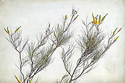 Yellow Flame Grevillea, part of the Proteacea family, is a shrub endemic to a large area of Western Australia. The flowers of the Grevillea eriostachya produce a sweet nectar.