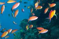 Redfin Anthias' feeding in the water column