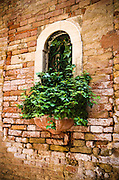 Ivy and window, Venice, Veneto, Italy