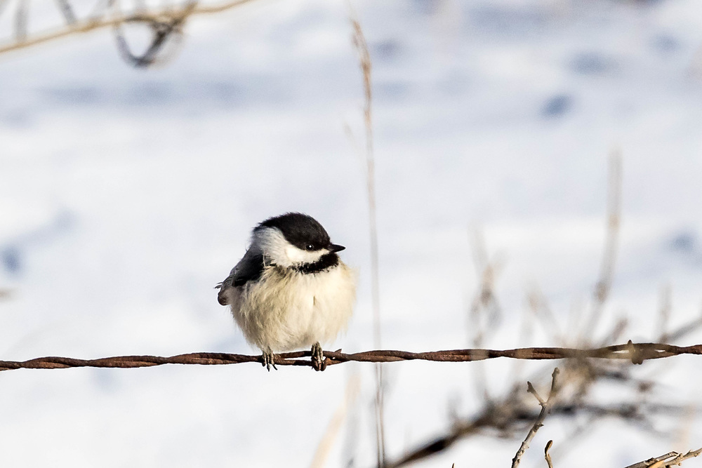 A black-capped chickadee braves the cold north of Mandan, ND, on Monday, Feb. 5, 2018. The air temperature was -5 degrees Fahrenheit.