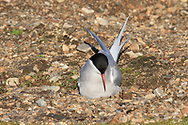 Arctic tern (Sterna paradisaea) tucks egg beneath her in nest after flying zig-zag 12,500 miles (20,000 kilometers) from Antarctica to Africa to Spitsbergen island each summer; Ny-Alesund, Kongsfjorden, Svalbard.