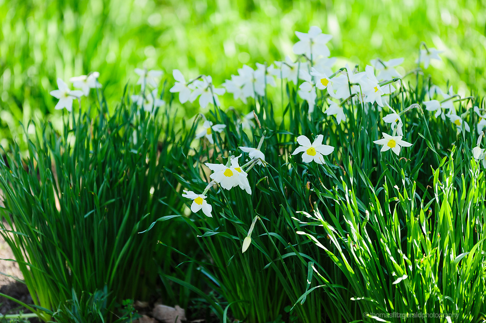 Lots of white daffodils growing together. Spring flowers growing in a meadow, with grass and trees all around.