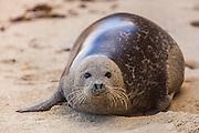 Harbor Seal (Phoca vitulina) -  on the Beach at La Jolla Cove, San Diego, CA