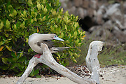 A Red-footed booby preens itself on a tree on Genovesa island, part of the Galapagos archipelago of Ecuador.