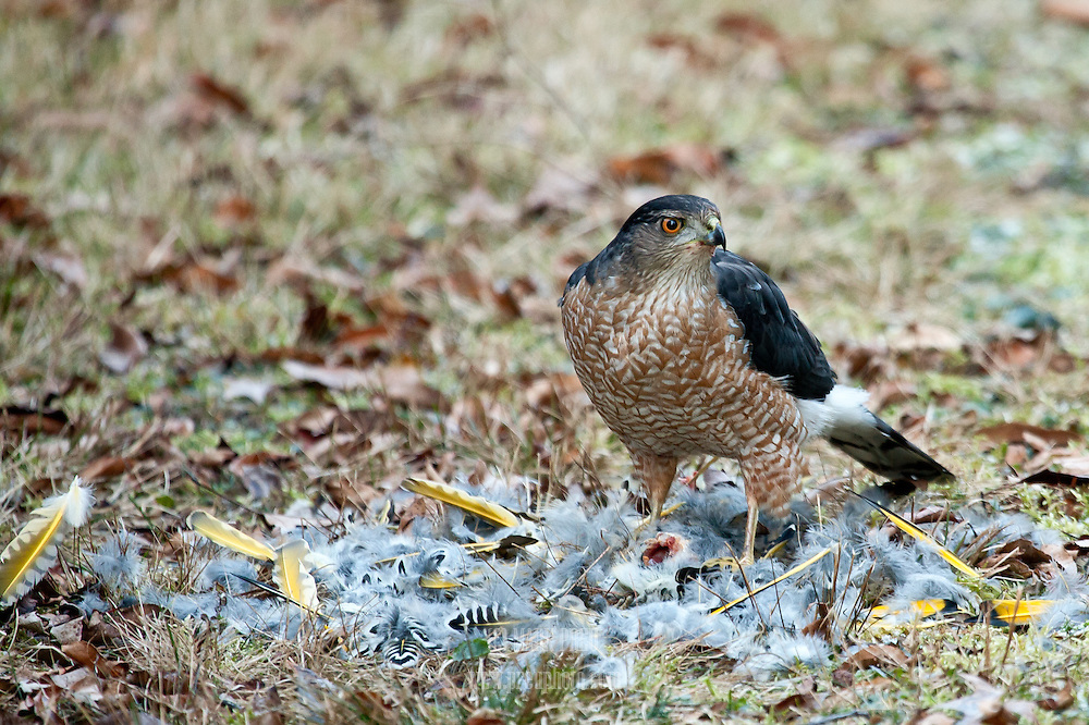 A sharp-shinned hawk leaves little more than a pile of feathers after dining on a yellow-shafted flicker.