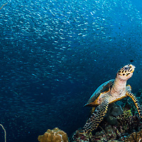 A critically endangered hawksbill sea turtle (Eretmochelys imbricata) feeds on sponges along a coral wall off Moalboal, Philippines with sardines in the background.