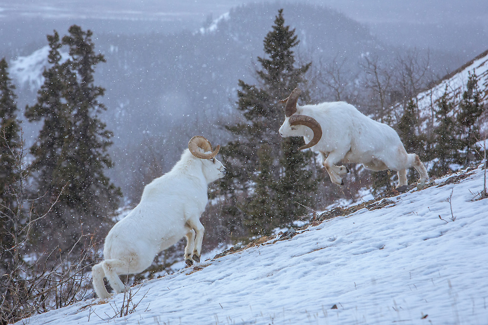 Dall Sheep Rams fighting all day