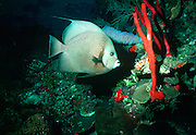 UNDERWATER MARINE LIFE CARIBBEAN, FISH; Gray Angelfish; in a coral reef environment