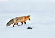 A Red Fox in Yellowstone National Park