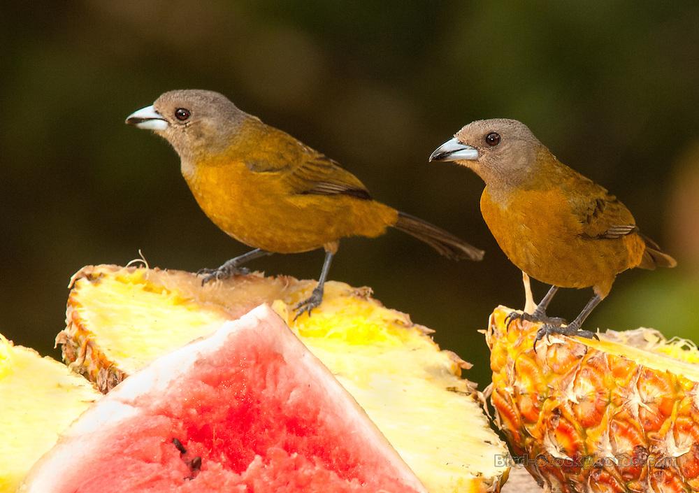 Passerini's Tanager, (Scarlet-rumped Tanager), Ramphocelus passerinii, pair, eating fruit, Costa Rica, by Owen Deutsch