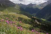 Wild flowers growing on the roadside near the top of the Jaufenpass, the highest point at 2,094 metres on the road between Meran-merano and Sterzing-Vipiteno in South Tyrol, Italy.