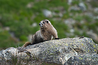 Hoary marmot (Marmota caligata)  sitting on rock. Easy Pass North Cascades