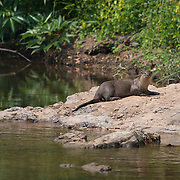 Wild male Smooth-coated Otter, Lutra perspicillata, in Khao Yai National Park, Thailand..