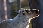 Reindeer smells human. Captured closeby Tunhovdfjord, Nore og Uvdal, Norway | Reinsdyr kjenner lukten av menneske. Fotografert i nærheten av Tunhovdfjord, Nore og Uvdal, Norge.
