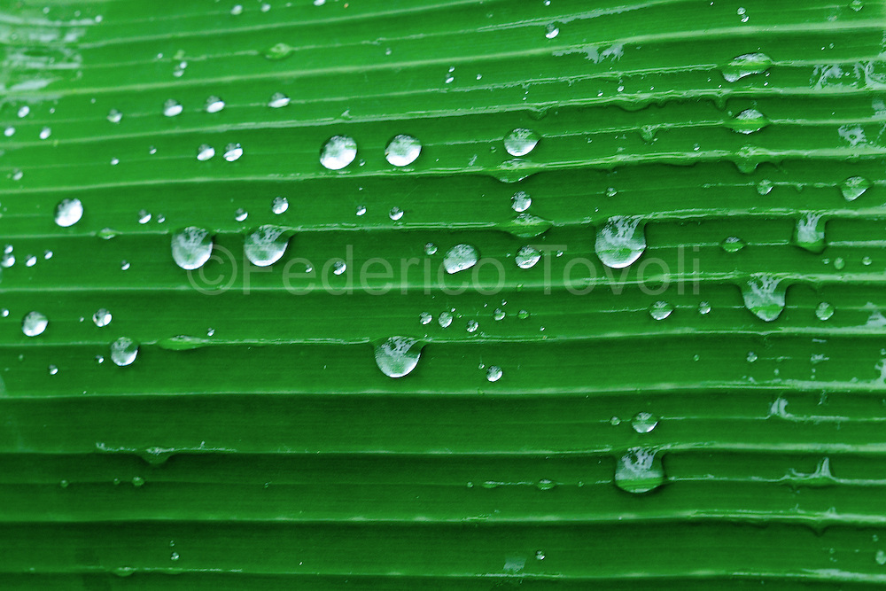 Rain drops on the palm leave. The area where Mamallacta estate is in is very rainy
