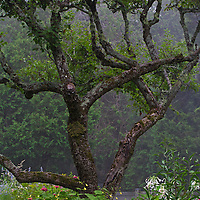 Secret Garden photography of a winding tree photographed at Thuya Garden in Northeast Harbor, ME. This mystical garden and its surrounding land is a wonderful mixture of flower beds and native eastern Maine woodlands situated on a granite hillside overlooking Northeast Harbor. There is limited parking at the entrance to the garden and at the bottom of the hill. Climbing from the foot of the hill up the staircases awards beautiful views of Northeast Harbor and surrounding areas.  <br />