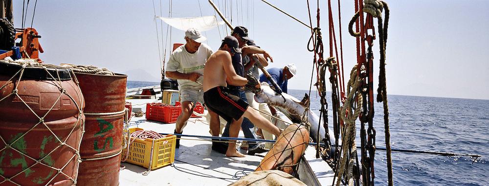 Un grosso pesce spada femmina. Arriva a pesare 350 chili.<br /> Il pesce Spada dello stretto cos&igrave; pescato &egrave; molto raro e per questo ha un prezzo di vendita elevato. Catturato in questo modo &egrave; dedicato a palati sopraffini. Di diverso sapore da quello pescato con la rete.<br /> <br /> Swordfish female can weigh 350 - 400 Kg