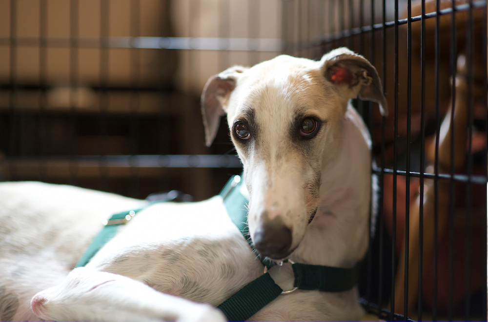 "This is ""PTL Clown,"" a socially challenged white and fawn male, only two years old in August-2009.  The Greyhound Pets of America (GPA) Central Florida (floridagreyhounds.com) website describes him with a worried look in his eyes, and his tail usually between his legs, needing some extra TLC."