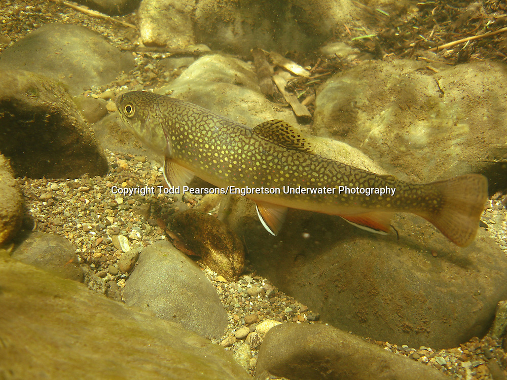 Brook Trout<br /> <br /> Todd Pearsons/Engbretson Underwater Photography