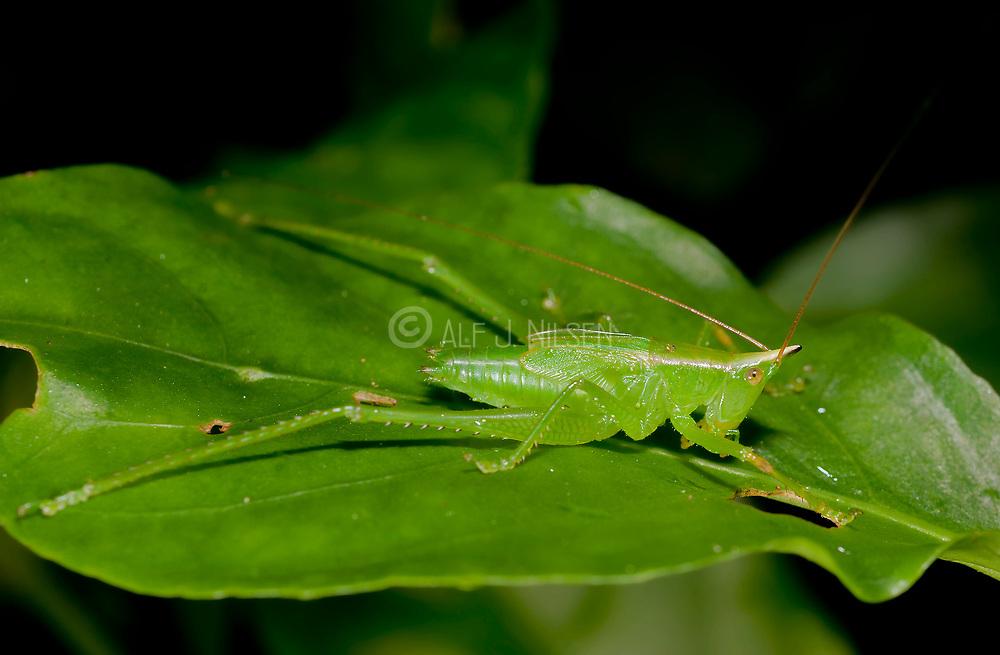 Connehead katydid from La Selva, Ecuador.