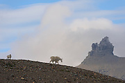 A nanny mountain goat (Oreamnos americanus) and her kid walk down a ridge, Glacier National Park