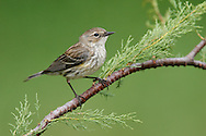 Yellow-rumped Warbler - Setophaga coronata (Myrtle) - Female