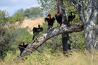 A group of ground hornbills perch on a tree trunk.