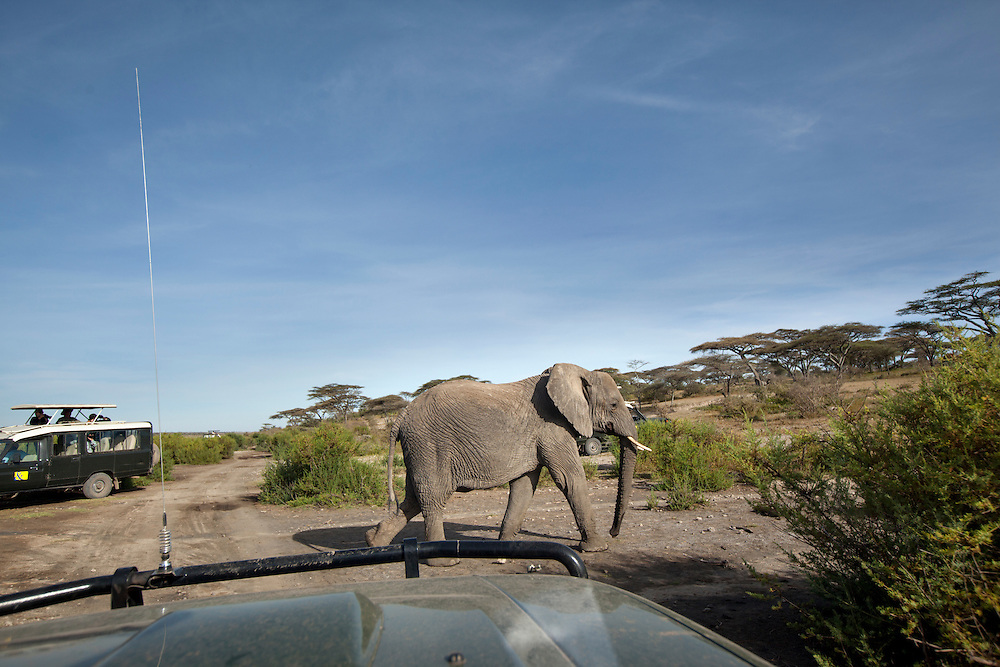 Tanzania, Ngorongoro Conservation Area, Ndutu Plains, Elephant (Loxodonta africana) walks between safari trucks