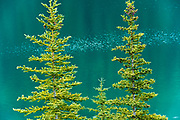 Spruce trees at Two Jack Lake<br />