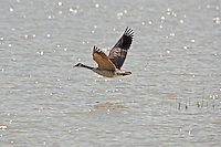 Canadian goose fly's low over an open pond.