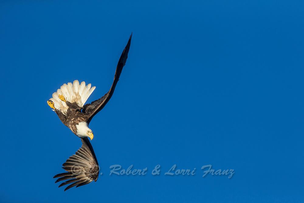 Bald eagle preforming aerial acrobatics in flight