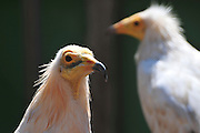 Egyptian vulture (Neophron percnopterus). This vulture is native to the Mediterranean, Turkey, parts of Africa and parts of India. At less than 60 centimetres in length it is small, but is well known due to its habit of using stones as tools to break open ostrich eggs. Its main food supply however is waste and refuse, which it often finds around human habitation. Photographed in Israel in September