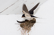 swallow building a nest using mud reed grass and twigs ..., Travel, lifestyle