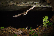 A Virginia big-eared bat (Corynorhinus townsendii virginianus) emerging from a cave in North Carolina. This is an endangered subspecies of the Townsend's big-eared bat and is found in Virginia, Kentucky and North Carolina. Note the spider at the base of the fern.