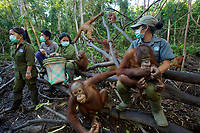 Keepers at IAR spend time with a group of juvenile orangutans in a patch of forest where they are learning skills for the wild <br />