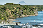 Adult grizzly bears fish for chum salmon in the upper McNeil River falls at the McNeil River State Game Sanctuary with St. Augustine volcano on the Kenai Peninsula, Alaska. The remote site is accessed only with a special permit and is the world's largest seasonal population of brown bears.