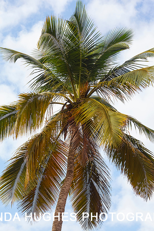 Coconut Trees along the Ghana Coastline