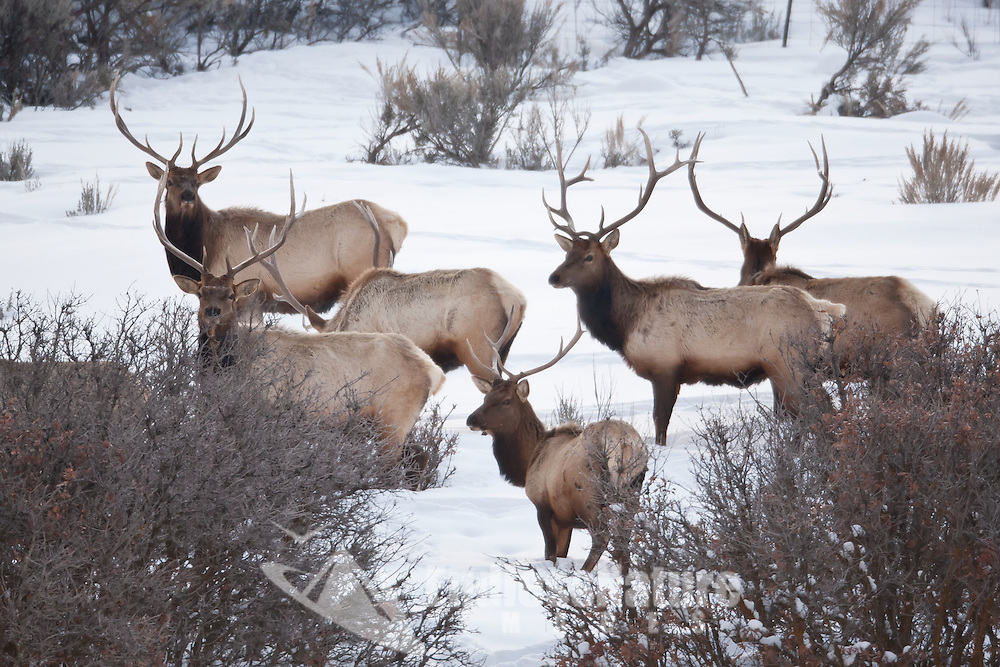 Winter 2017 a group of Bull Elk together in there winter range in northern Utah.