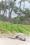Hawaiian monk seal, Monachus schauinslandi, Critically Endangered endemic species, adult female resting on beach at Canoe Beach, Kaanapali, Maui, Hawaii ( Central Pacific Ocean )