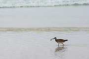Whimbrel (Numenius phaeopus)<br /> Tortuga Bay<br /> Santa Cruz Island<br /> Galapagos<br /> Ecuador, South America