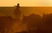A cowboy drives cattle in during a round-up in Quanah, Texas.