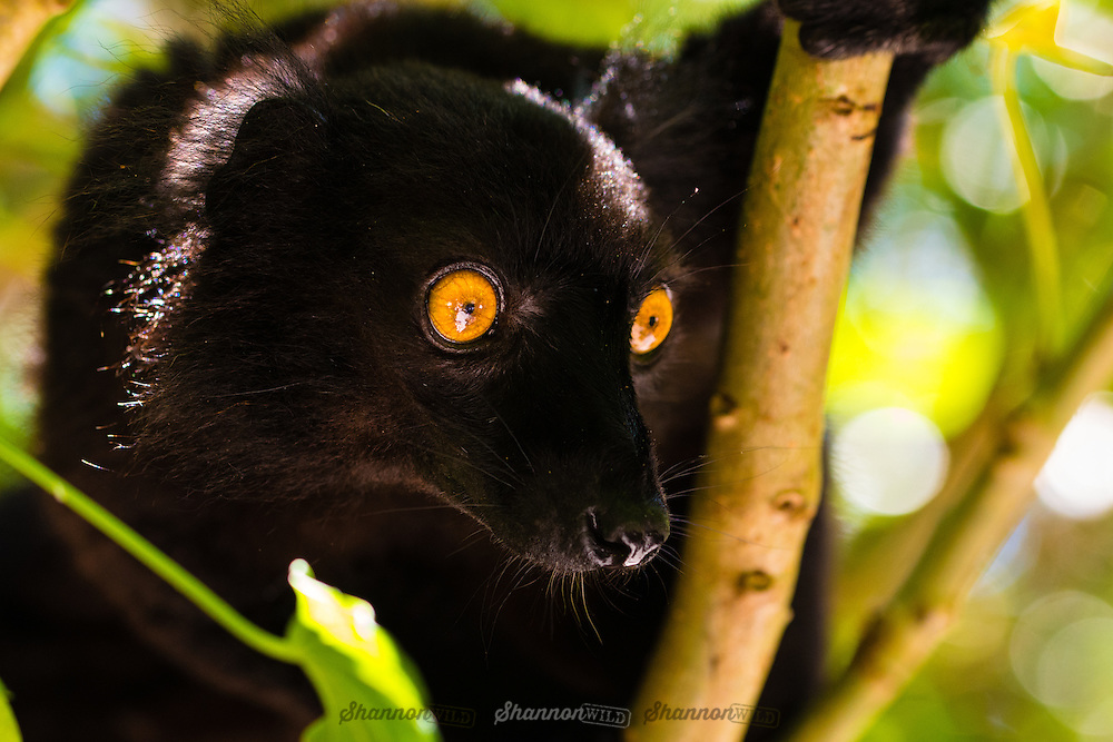 Common Black Lemur (Eulemur macaco), male, photographed at Akanin'ny Nofy, Madagascar