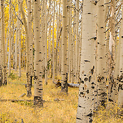The Aspens in Colorado are mesmerising. This grove was high in the mountains and had already lost some leaves. It was a remote spot, few hours walk from anywhere. The silence and the beauty of this place can be acutely felt in this image.