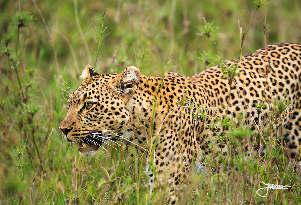 A leopard hunting in Serengeti, a taste of Africa and Tanzania